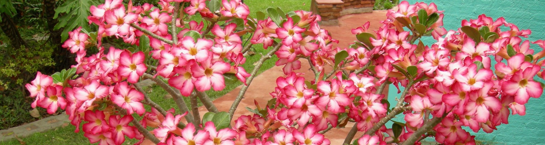 A good vegetable gardening tome says Canadian Gardening magazine. cropped desert rose jpg